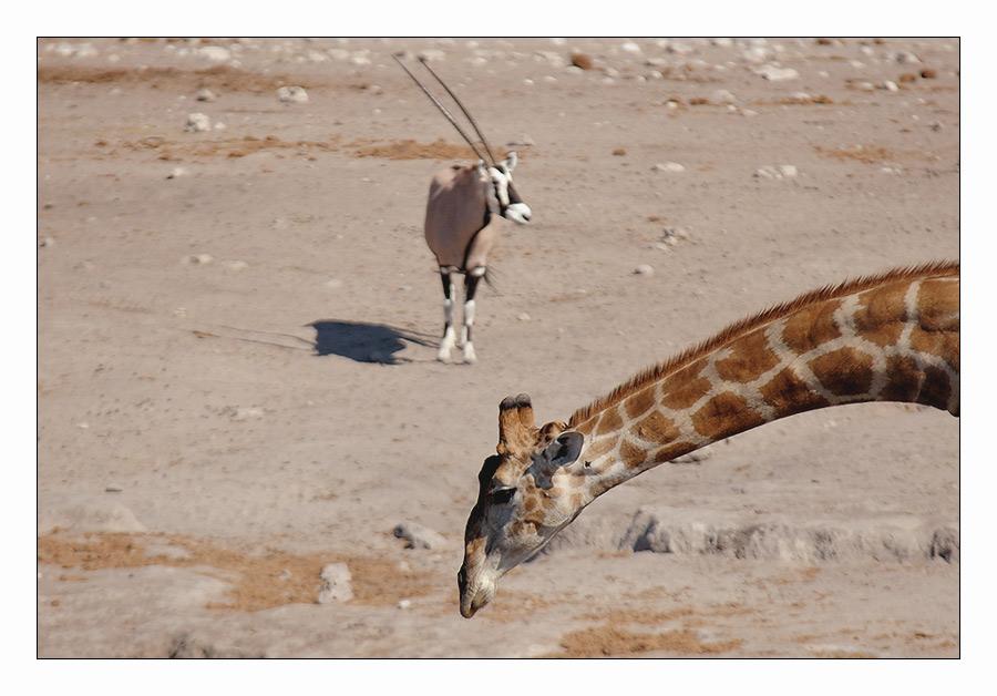 Giraffe oder Oryx?