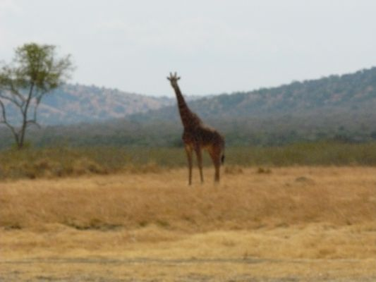 Giraffe parc AKAGERA