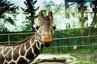 Giraffe / Schlange