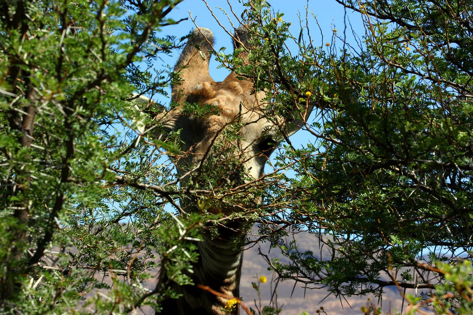 Giraffe (Südafrika) - ... ich hab Dich zuerst gesehen!
