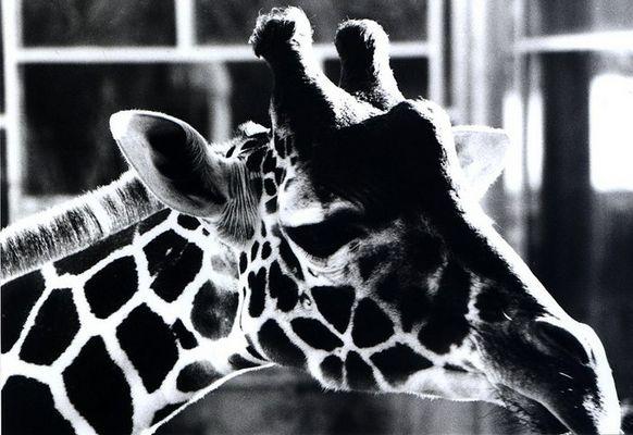 Giraffe SW