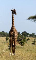Giraffe, Tarangire NP, Tansania 2013
