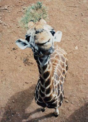 Giraffe von oben