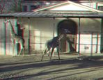 _ Giraffen _