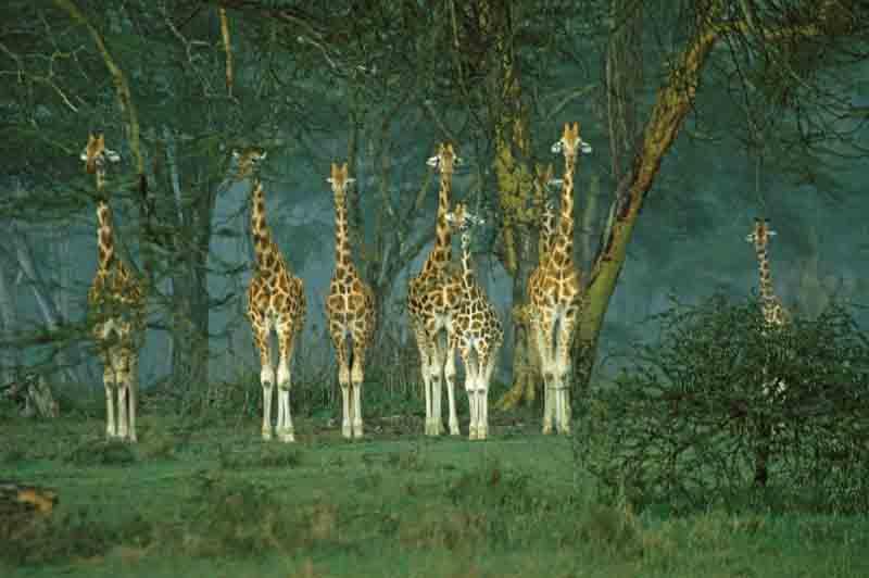 Giraffen beim Lake Nakuru in Kenia