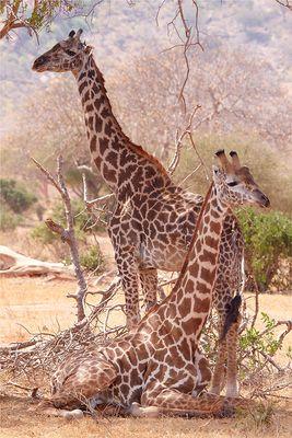 Giraffen beimRuhen