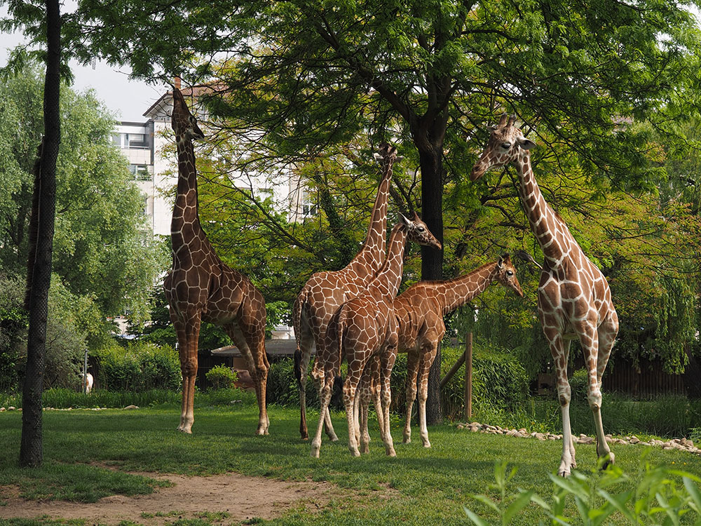 Giraffen...