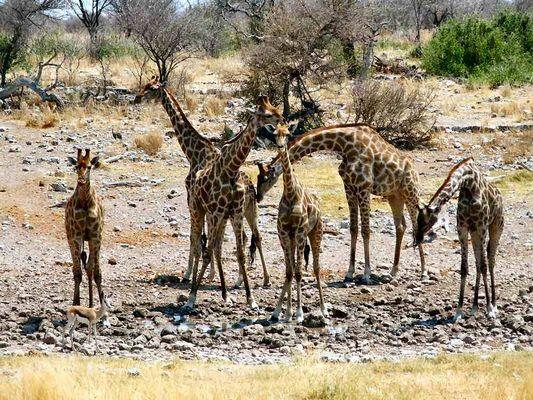 Giraffen-Gang