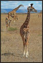 Giraffen-Idylle