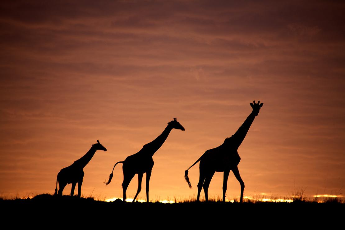 giraffen im abendrot foto bild sonnenunterg nge himmel universum fotos bilder auf. Black Bedroom Furniture Sets. Home Design Ideas