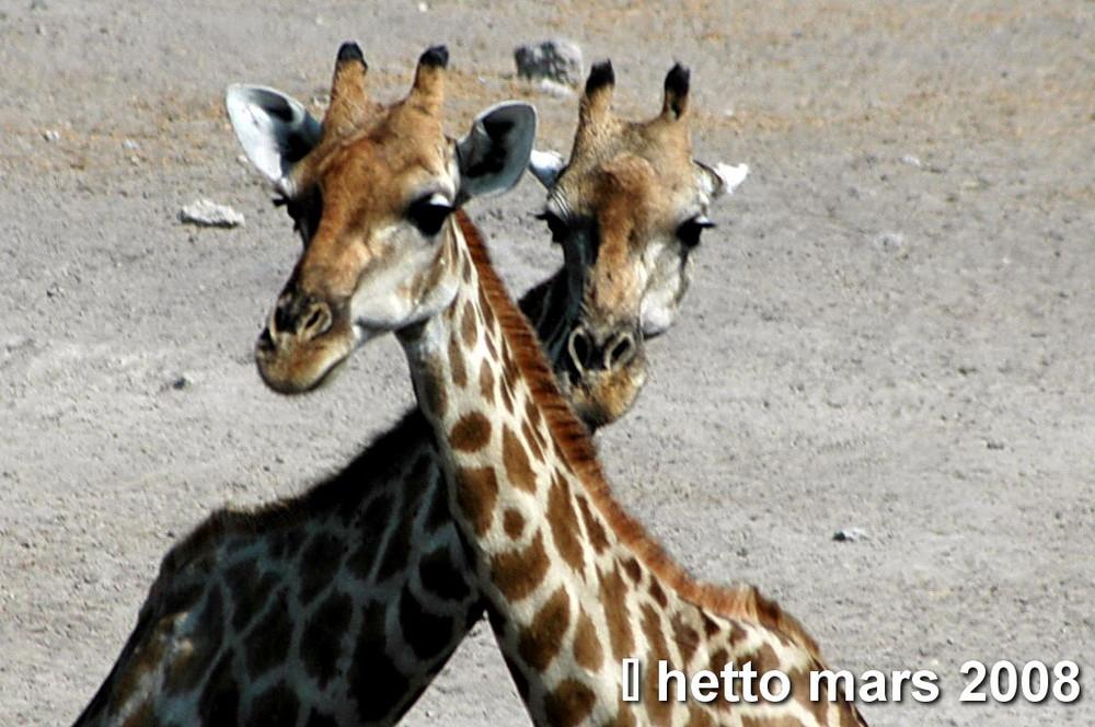 Giraffen im Etoscha