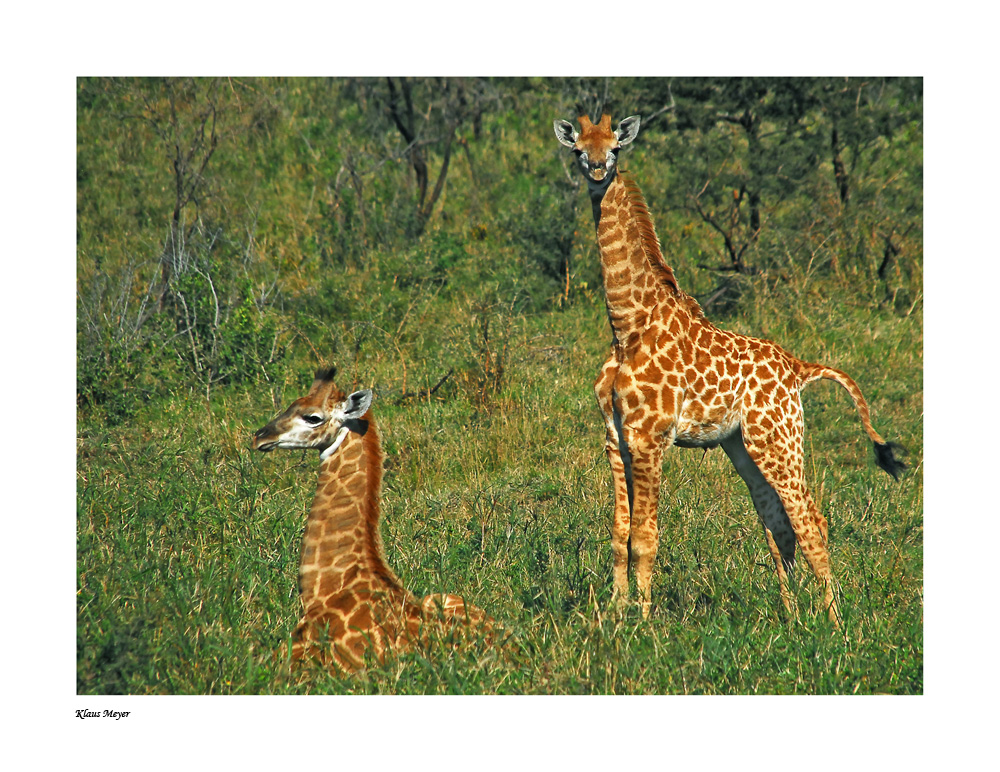 Giraffen im Hluhluwe Nationalpark (SA)