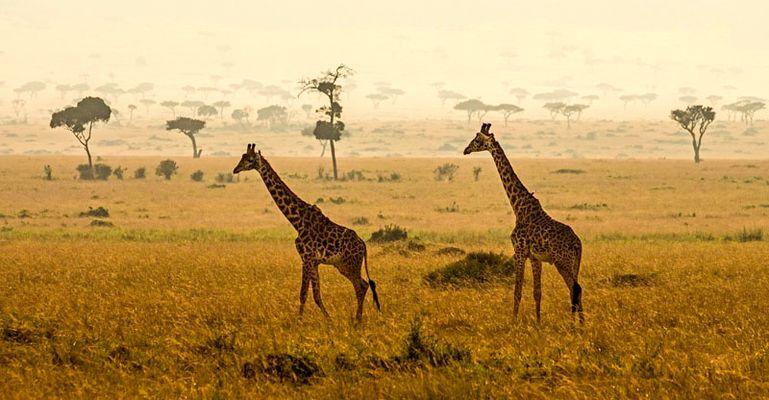 Giraffen im Massai Mara Reservat in Kenia