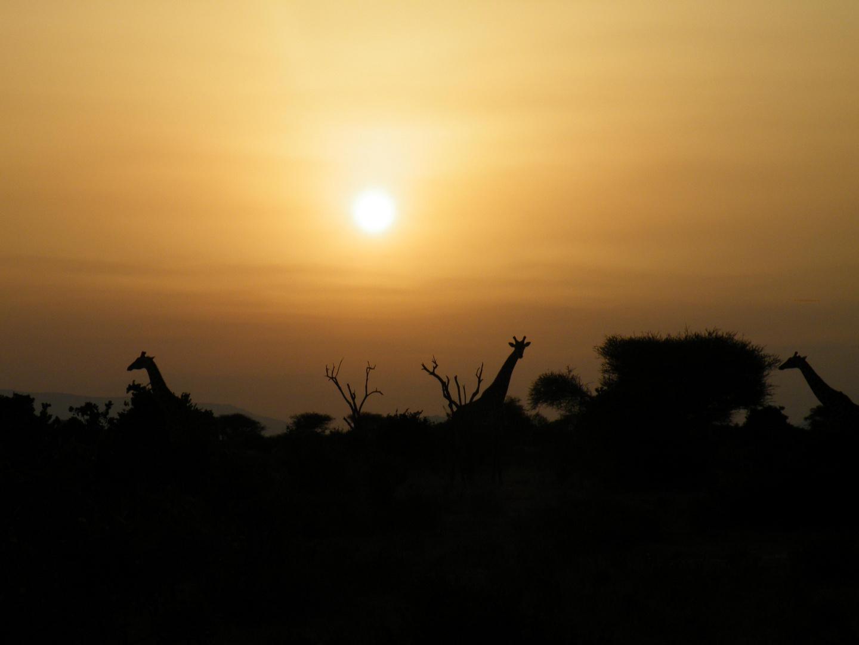 Giraffen im Sonnenuntergang