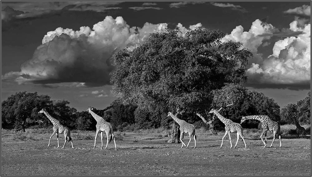 Giraffen im South Luangwa Nationalpark.