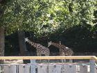 Giraffen im Zoo