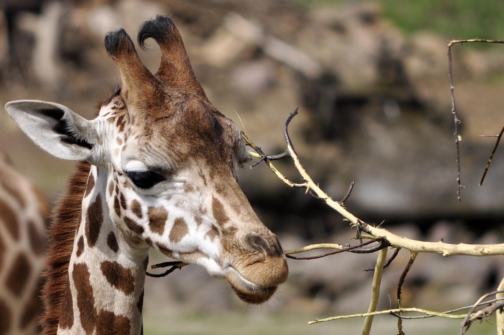 Giraffen Junges beim Fressen