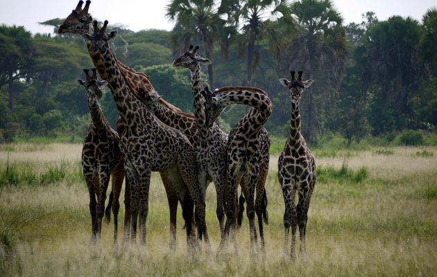 Giraffen , Katavi