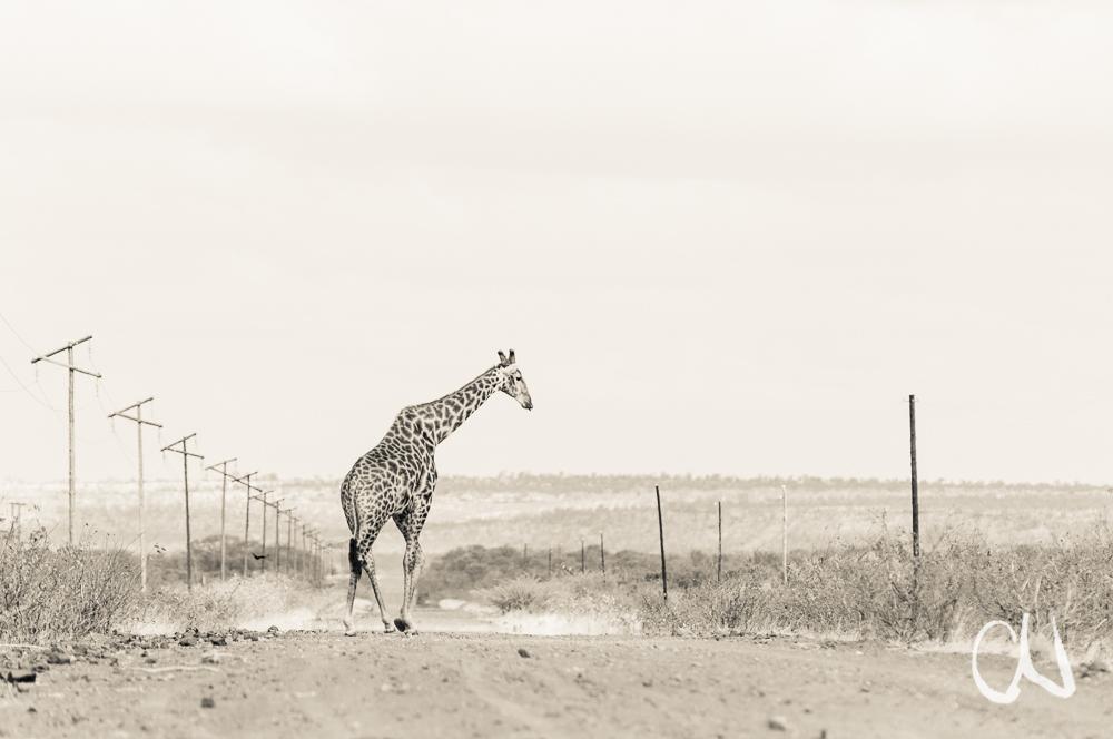 Giraffen kreuzen