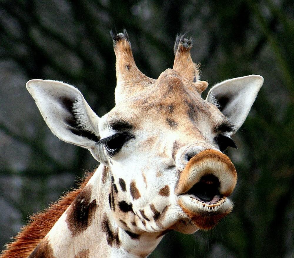 giraffen kuss foto bild tiere wildlife wildlife sonstige tiere bilder auf fotocommunity. Black Bedroom Furniture Sets. Home Design Ideas