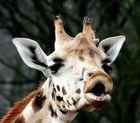 Giraffen-Kuss