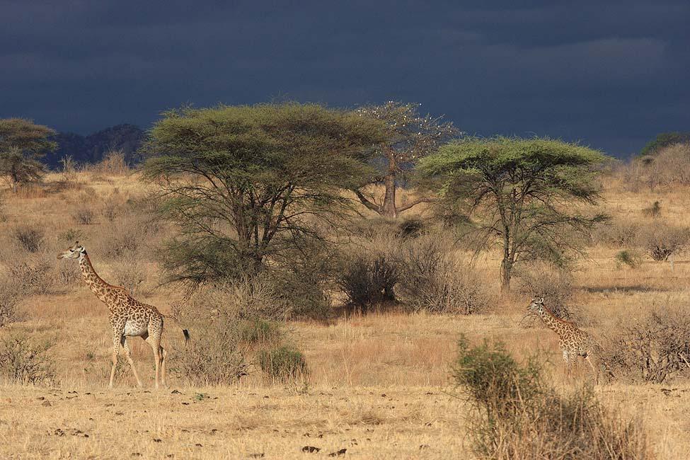 Giraffen morgens im Ruaha NP