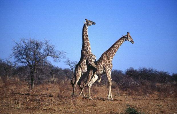 Giraffen-Sex