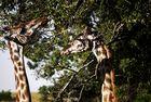 Giraffen Shaba