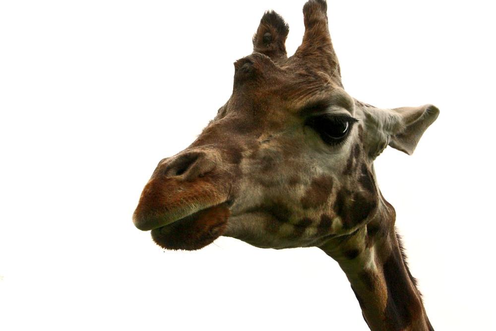 Giraffen sind auch UR-alt noch schön