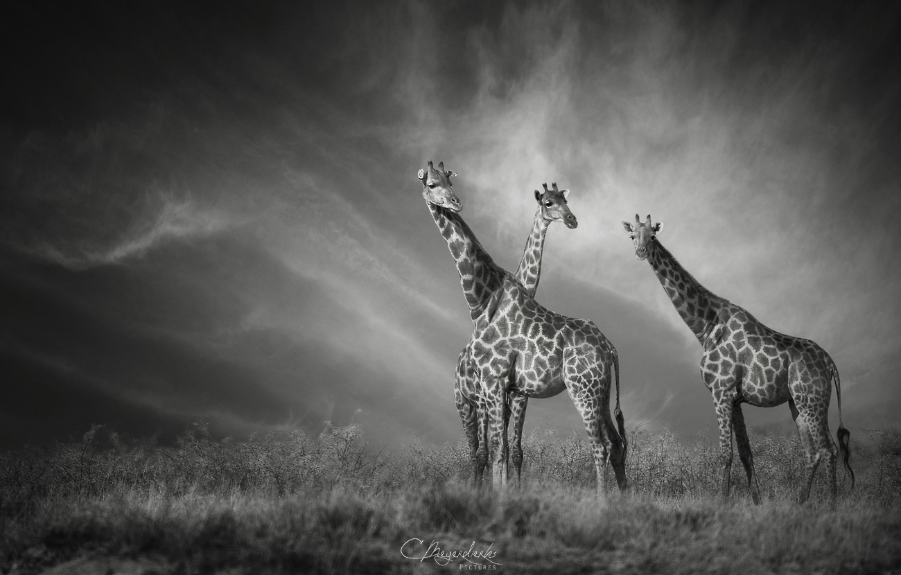 Giraffen-Trio