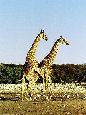 Giraffen Verkehr, Etosha Pfanne