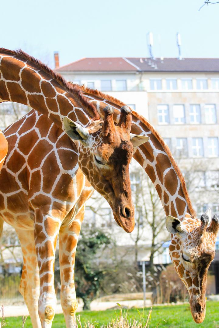GIraffen Zoo Karlsruhe