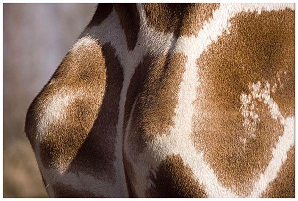 Giraffenbrüste