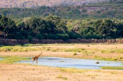 Giraffenbulle am Timbavati River