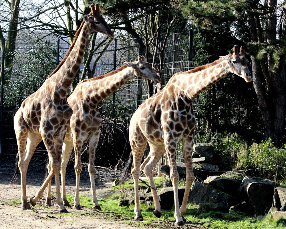 Giraffenduft