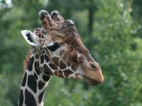 Giraffenfreund