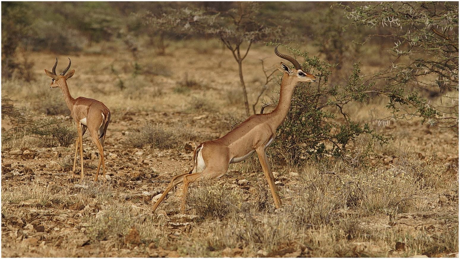 Giraffengazelle markiert das Territorium