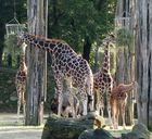 Giraffengruppe