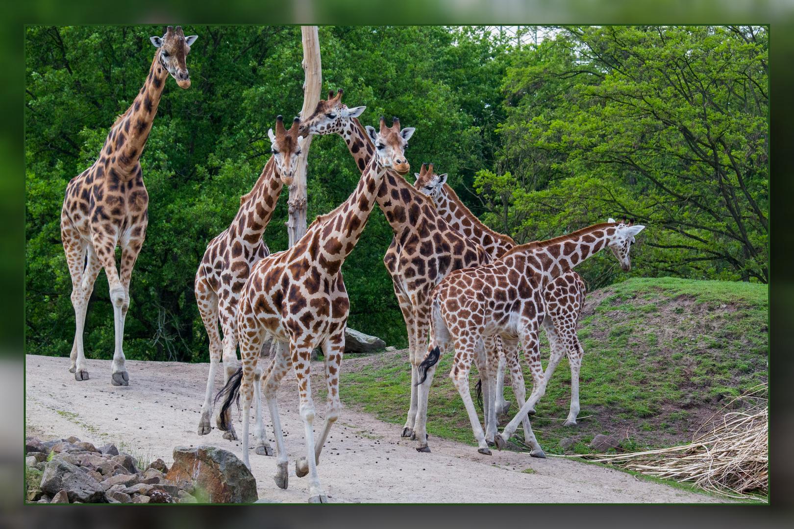 Giraffenherde