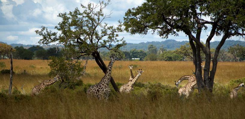 Giraffenherde im Mikumi Nationalpark