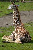 Giraffenjunges im Zoo Leipzig