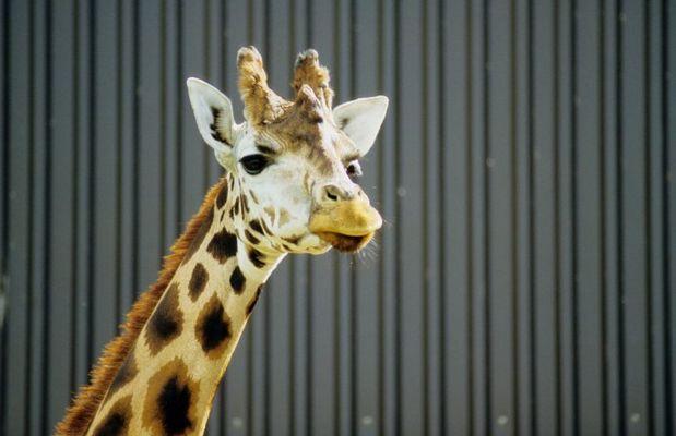 Giraffenknast