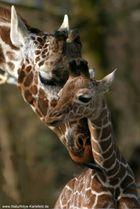 Giraffennachwuchs