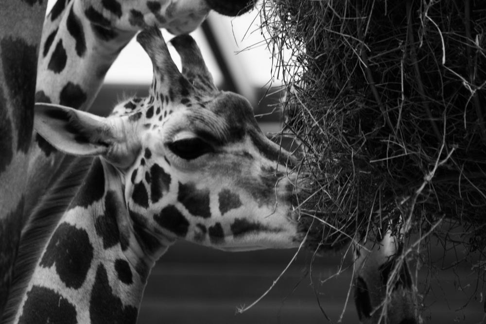 Giraffennachwuchs im Leipziger Zoo