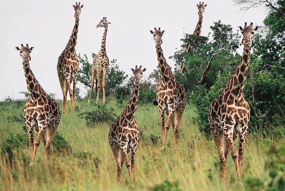 Giraffenparade ?
