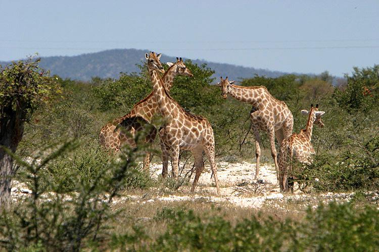 Giraffentreff