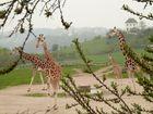 giraffes can dance