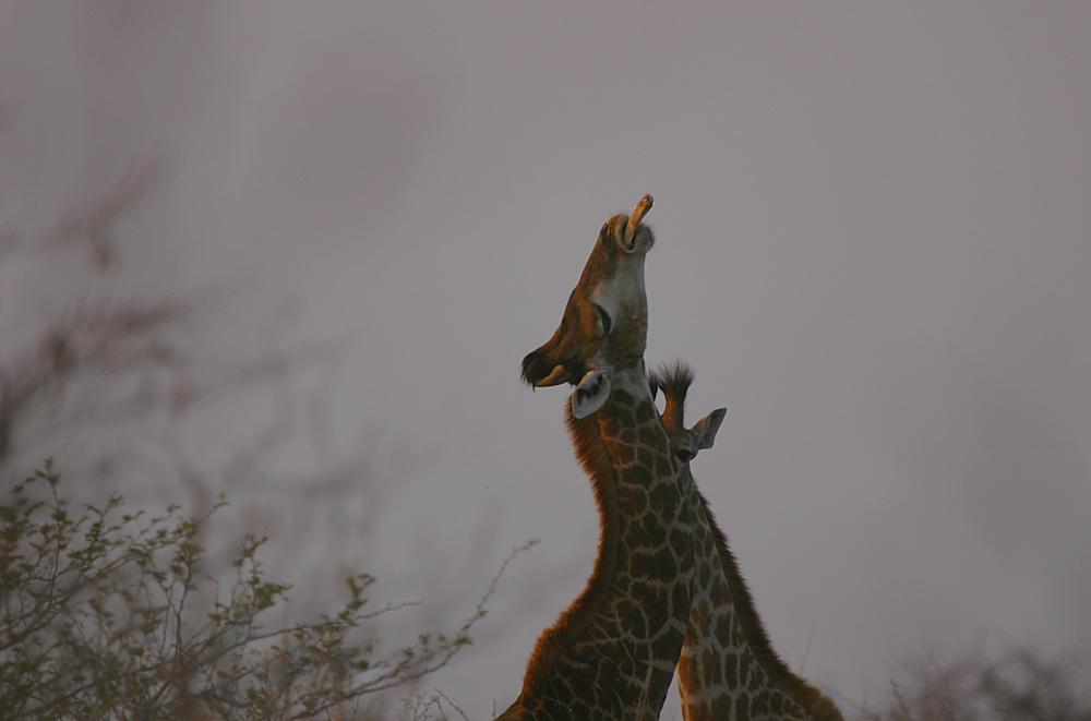 Giraffe's Playground
