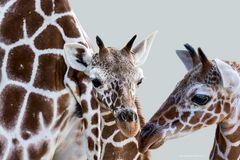 Giraffig