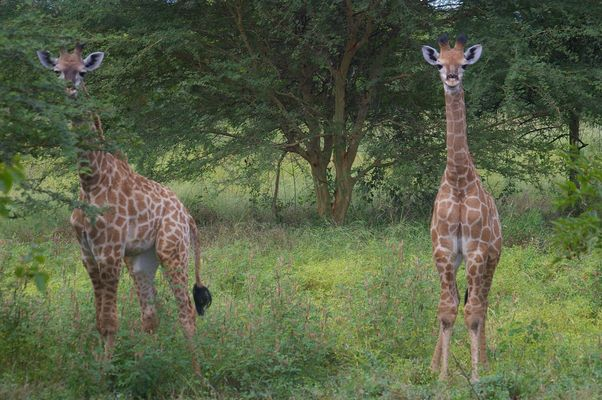 girafons